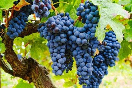 Чрезмерное количество сортов тормозит развитие отечественного виноградарства фото, иллюстрация