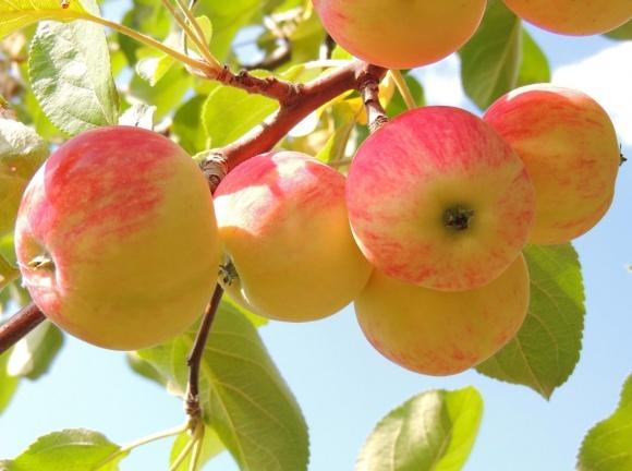 Украинcкий экспорт яблок в 2018 году достиг рекордных объемов фото, иллюстрация