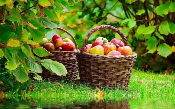 Назвали найпопулярніші серед органічних садівників сорти яблук фото, ілюстрація