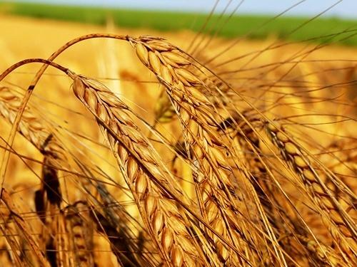 Рекордний врожай зернових підвищив ВВП в Україні до максимального рівня за 7 років фото, ілюстрація