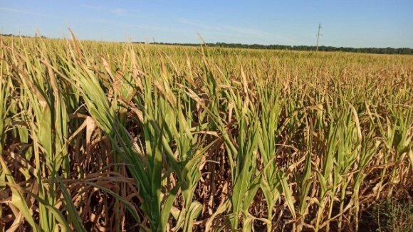 Ріпаку цього року не буде, а кукурудза слабка, — Укргідрометцентр фото, ілюстрація