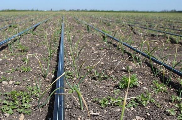 Капельное орошение на полевых культурах может окупиться за 1-2 сезона фото, иллюстрация