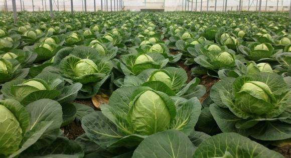 В Украине отказываются от рассадного способа выращивания капусты фото, иллюстрация