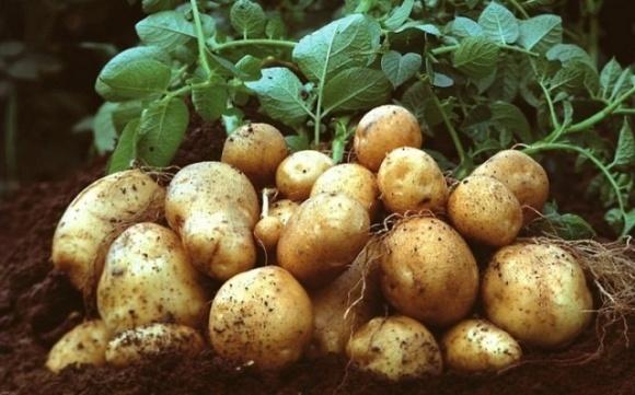 Через затоплення на Західній Україні зростуть ціни на картоплю — прогноз фото, ілюстрація