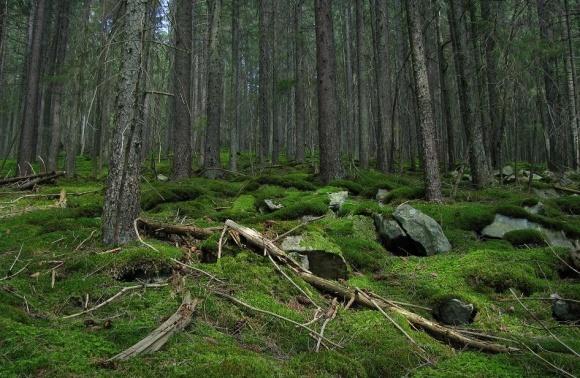 Украинские леса усыхают фото, иллюстрация