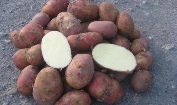 """У """"Вимал"""" назвали найкращі сорти для виробництва картопляного крохмалю фото, ілюстрація"""