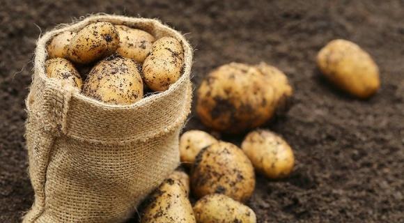 Solynta представила сорти не-ГМО картоплі, стійкої до фітофтори фото, ілюстрація