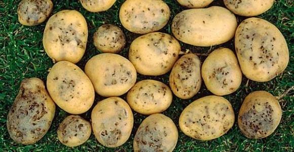На Херсонщине введен карантин из-за распространения картофельной моли фото, иллюстрация