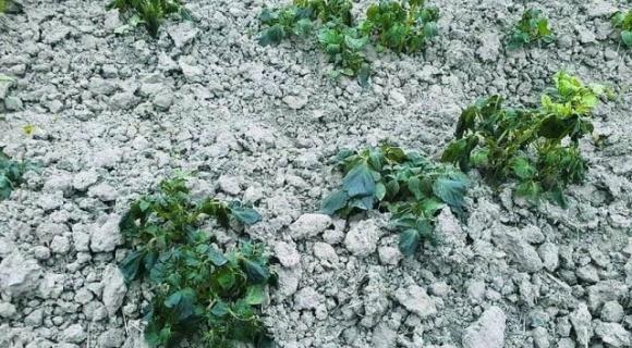 Несподівано сильні заморозки пошкодили практично всю городину фото, ілюстрація