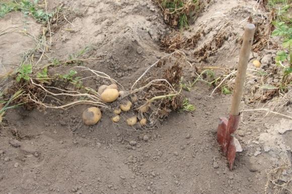 «Второй хлеб»: в этом году на Волыни урожай картофеля будет больше, а цена – ниже фото, иллюстрация