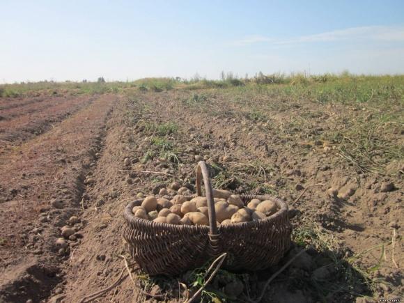 Експерт назвав причини поганої якості картоплі та росту цін фото, ілюстрація