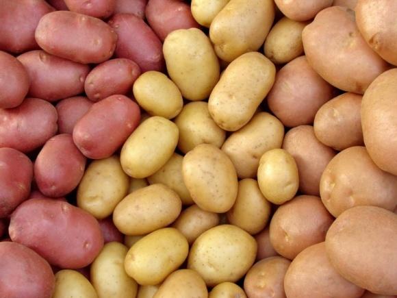 Перспективні ніші для вирощування картоплі фото, ілюстрація