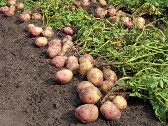 Негативна рентабельність виробництва картоплі склала 3,2% фото, ілюстрація