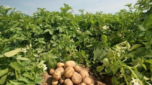 Ученые вывели картофель, способный противостоять вызовам природы фото, иллюстрация