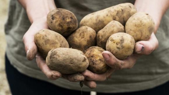 Картофель должен быть, — главный фермер Ровенщины фото, иллюстрация