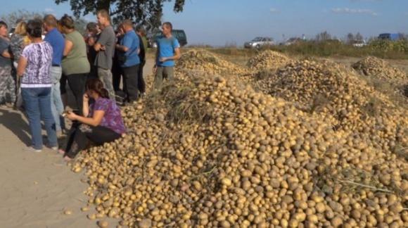 Вивезли 15 машин з картоплею: на Львівщині невідомі збирають врожай фермерів фото, ілюстрація
