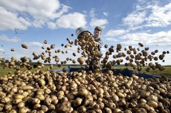 Зимой прогнозируется дефицит картофеля и в РФ, и в Украине фото, иллюстрация