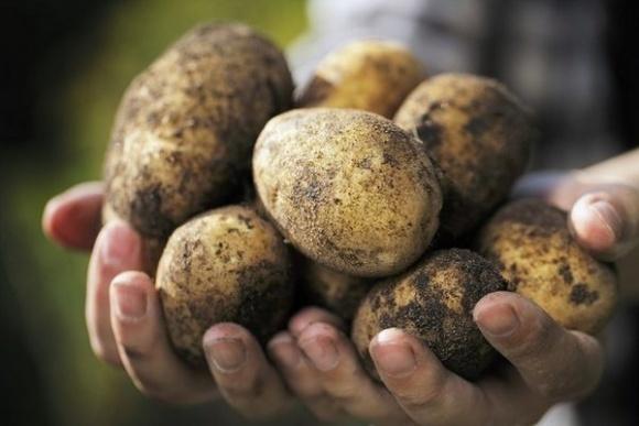 В Україні дорожчає картопля фото, ілюстрація