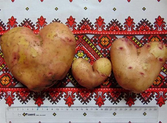 """На Херсонщині виростили """"закохану"""" картоплю фото, иллюстрация"""