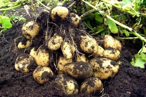 Рентабельність картоплі у 2016-му дорівнювала нулю, — експерти фото, ілюстрація