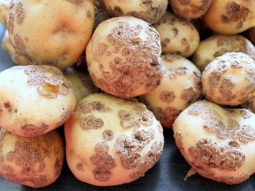 В Черновицкой области обнаружен рак картофеля фото, иллюстрация
