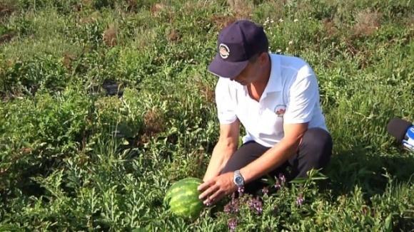 На Ивано-Франковщине выращивают арбузы и клубнику до поздней осени фото, иллюстрация