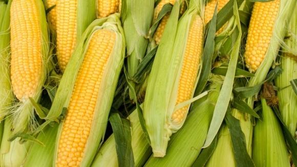 Кенія закупить в Україні кукурудзу без ГМО, а Кот-д'Івуара - цукор фото, ілюстрація