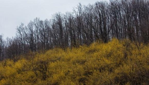 На околицях Виноградова розквітла найстаріша в Україні плантація кизилу фото, ілюстрація