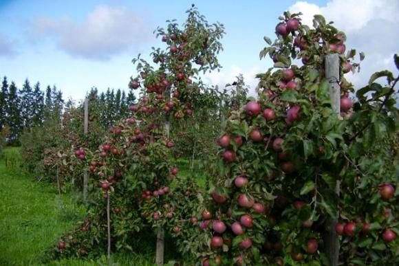 Клубні яблуні рідко хворіють фото, ілюстрація