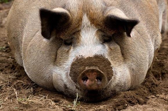 """Руководителя свинокомплекса """"Сельские традиции"""" обвиняют в преступной халантности фото, иллюстрация"""