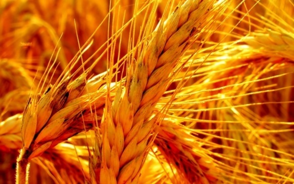 Світове виробництво зерна буде мінімальним за 3 роки фото, ілюстрація