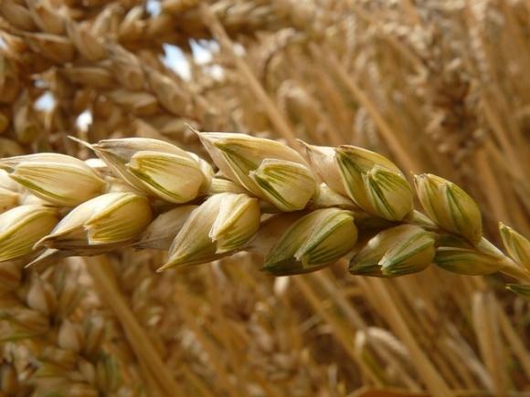 Агролайфхак: температурные условия выращивания зерновых фото, иллюстрация