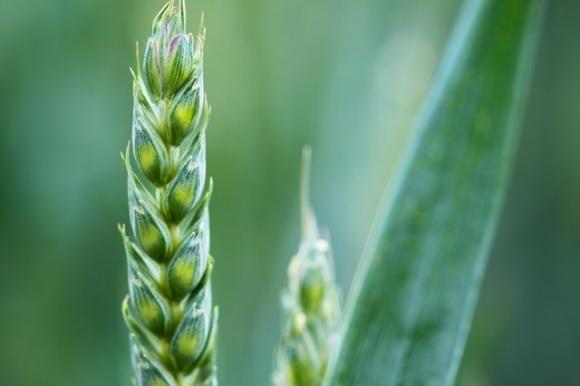 Через пару лет валовой сбор зерновых может снизиться на 10% фото, иллюстрация