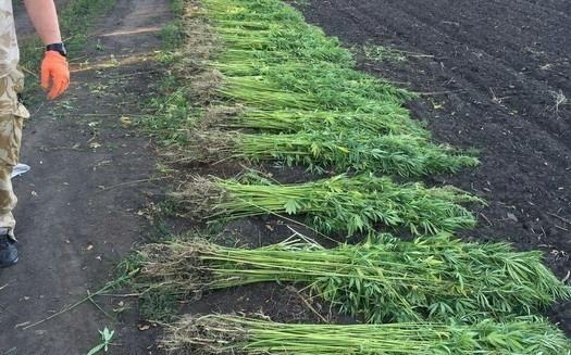 """На Луганщине фермеры вырастили конопли на 1,5 млн грн на финансирование """"ЛНР"""" фото, иллюстрация"""