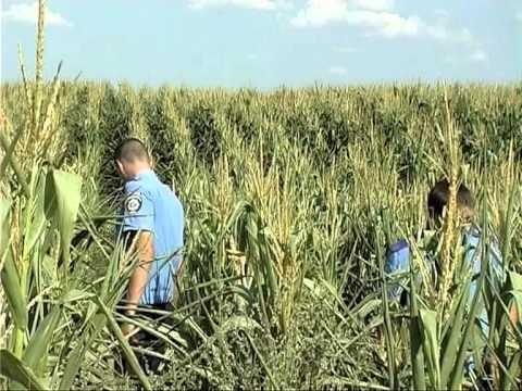 На Рівненщині фермери виростили елітну коноплю в кукурудзі фото, ілюстрація