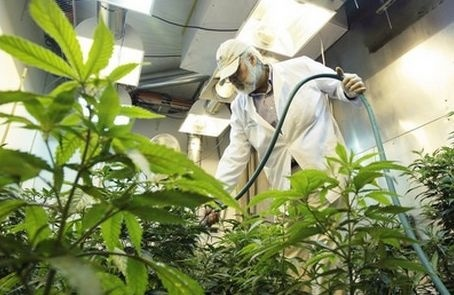 92% голландських конопель містять сліди пестицидів фото, ілюстрація
