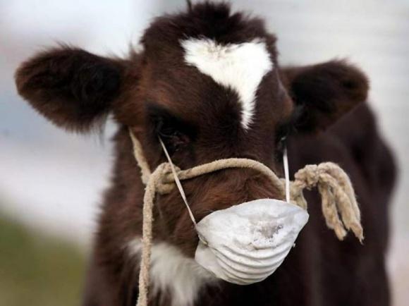 """Одеських аграріїв навчили діагностувати """"африканську чуму"""" корів фото, ілюстрація"""