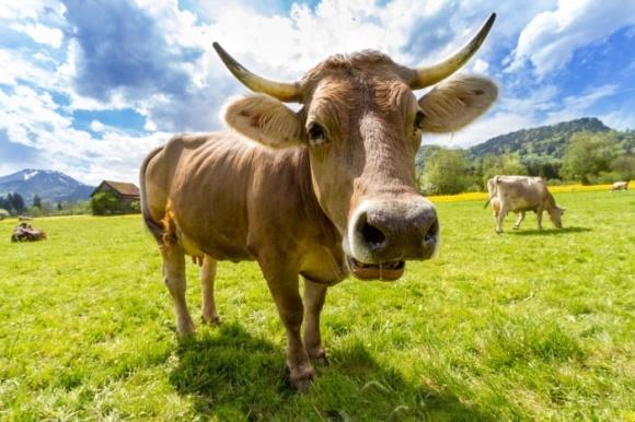 Проблему нехватки энергоресурсов решит… корова? фото, иллюстрация