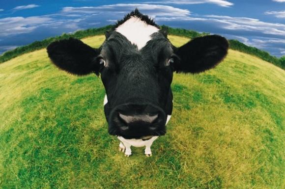 Крымские власти покупают европейских коров и считают это сотрудничеством фото, иллюстрация