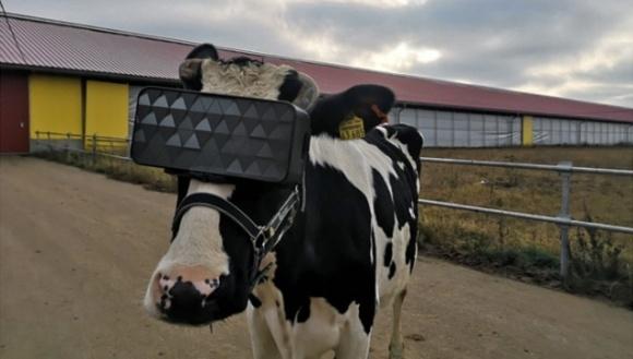 Российским коровам выдали очки виртуальной реальности фото, иллюстрация