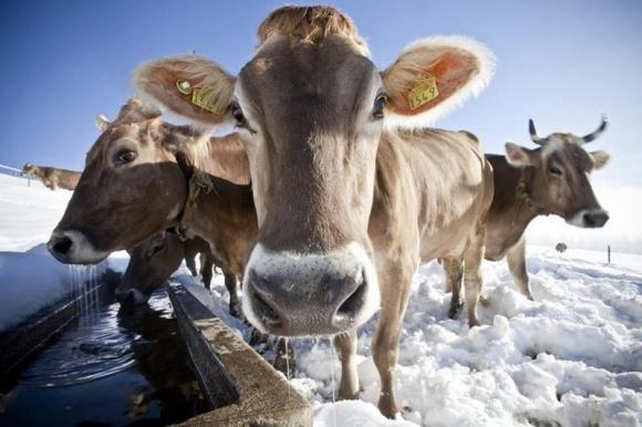 Солодощі в раціоні корів значно покращують смак яловичини фото, ілюстрація