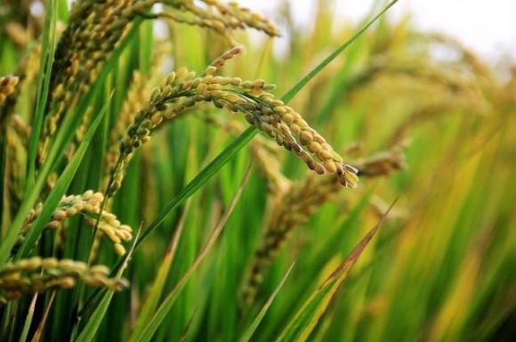 Украинские производители риса получат преимущества от нового гербицида Баксига™ на основе инновационной молекулы Rinskor™ фото, иллюстрация