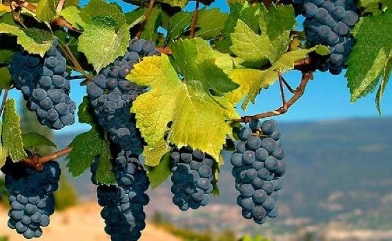 Из-за аномально теплой зимы виноградари советуют обрезать лозу фото, иллюстрация