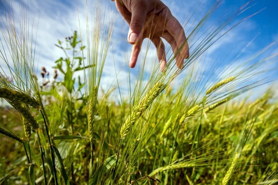 Аннексированный Россией Крым экспортировал свое зерно в шесть стран фото, иллюстрация