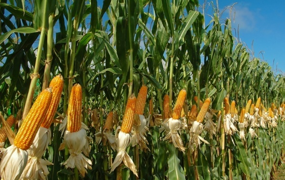 Агролайфхак: особливості вологозабезпечення кукурудзи фото, ілюстрація