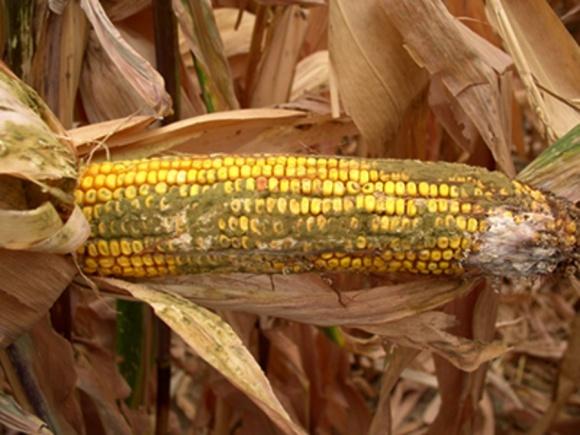 Американці створили ГМО-кукурудзу, здатну протистояти афлатоксину фото, ілюстрація