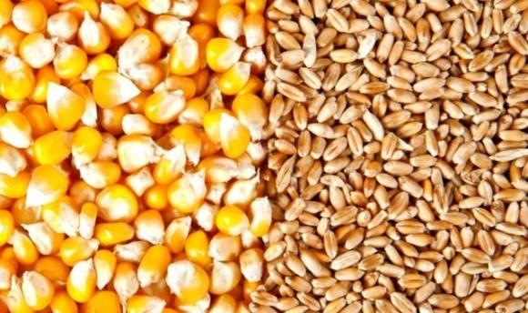 ТОП-3 найбільших імпортерів української пшениці та кукурудзи фото, ілюстрація