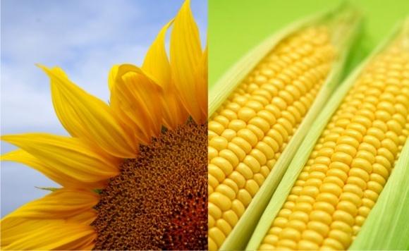 Маржинальные культуры для Украины - кукуруза и подсолнечник фото, иллюстрация