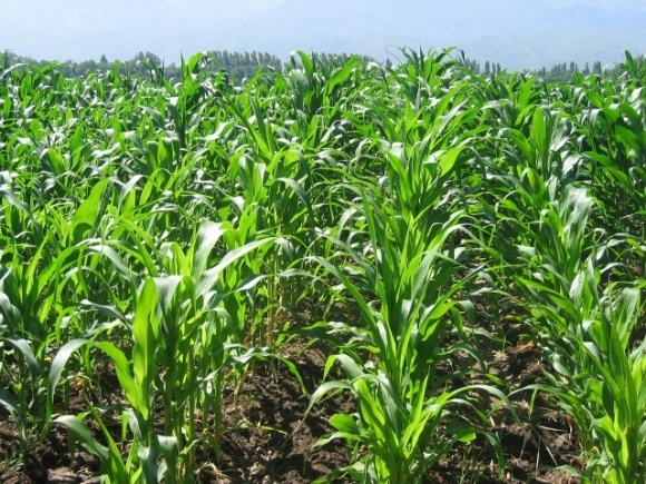 Перспективи збільшення посівів кукурудзи цієї весни фото, ілюстрація