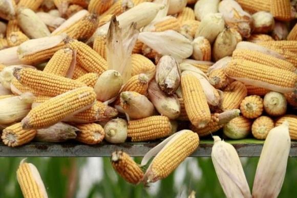 Євросоюз схвалив безмитне ввезення 750 тисяч тонн української кукурудзи фото, ілюстрація